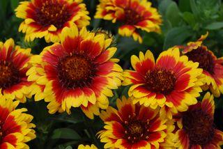 Gaillardia-Blanket-Flower