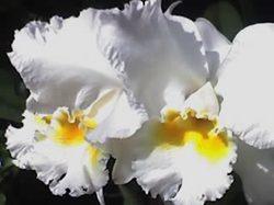 Orchido4